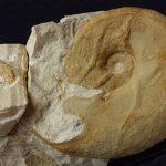 Neolissoceras grasianum. Pareja dimorfa.