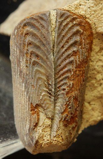 Aptychi (Mandíbulas de ammonites). Aptychi calcáreas que han fosilizado en conexión.