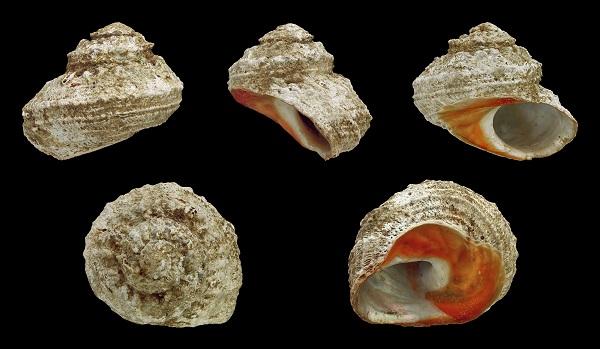 Bolma rugosa. Un gasterópodo actual del Mediterraneo