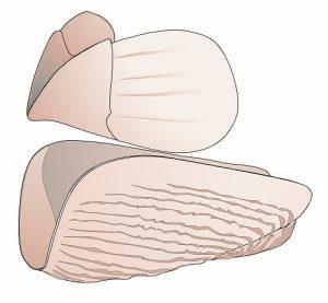 Esquema de la mandíbula completa tipo aptychus