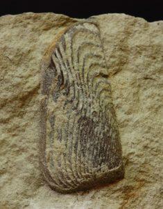 una pieza suelta (aptychus) de la mandíbula inferior. Es de tipo Lamellaptychus
