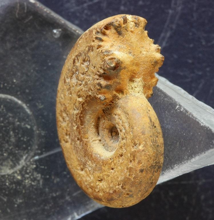 Vista oblicua de un núcleo limonitizado de Haploceras (Neolissoceras) grasianum
