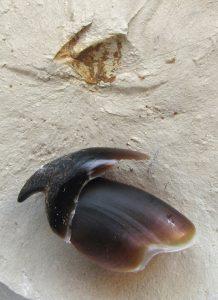 Pico fósil de cefalópodo comparado con el pico de una sepia actual.
