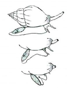 Posicion del operculo en un gasteropodo actual