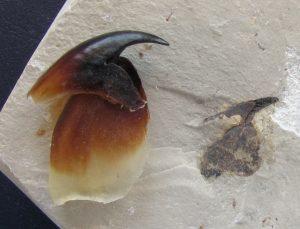 Mandíbula fósil de cefalópodo comparada con la de un calamar actual.