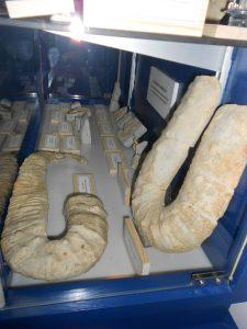 Exposición de ammonites en el Museo ISURUS. Ammonites heteromorfos.