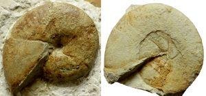 Roturas conchas ammonites. Holcophylloceras calypso