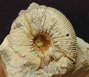 Olcostephanus densicostatus (Wegner, 1909)