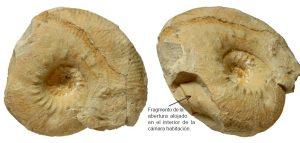 Roturas conchas ammonites. Olcostephanus drumensis. Ejemplar macroconcha deteriorada con fragmentos en el interior de la cámara habitación.