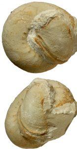 Roturas conchas ammonites. Macroconcha de Olcostephanus drumensis partida con los fragmentos en conexión