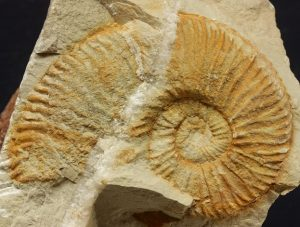 Roturas conchas ammonites. Thurmanniceras sp con diaclasa rellena de calcita