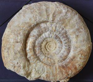 Geczyceras sp. Ejemplar adulto (26 cm de diámetro)