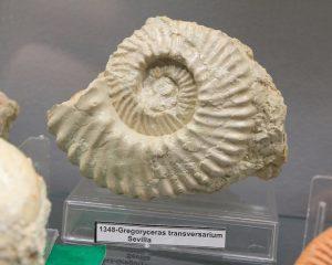 """Gregoryceras transversarium. Centro de interpretación """"Cabra Jurásica""""."""