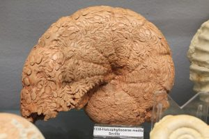"""Holcophylloceras mediterraneum. Centro de interpretación """"Cabra Jurásica""""."""