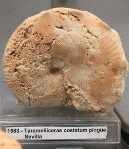"""Taramelliceras costatum pingüe. Centro de interpretación """"Cabra Jurásica""""."""