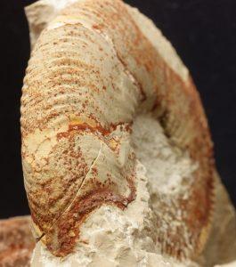 Peristomas temporales en ammonites: detalle de la prolongacion ventral