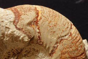 Peristomas juveniles en ammonites sobre la cámara habitación del adulto vistos en detalle.