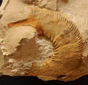 Peristomas temporales en ammonites: detalle de la abertura de una microconcha