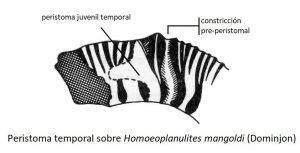 Peristomas temporales en ammonites: descripción