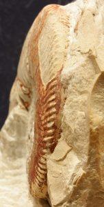 Sección y zona ventral en vueltas internas de Thurmanniceras pertransiens
