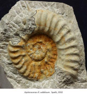 Depredación sobre ammonites. Un ejemplo del Albiense superior.