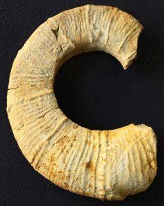 Fraggmento de Crioceratites Loryi