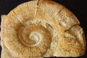 Especie índice Crioceratites loryi