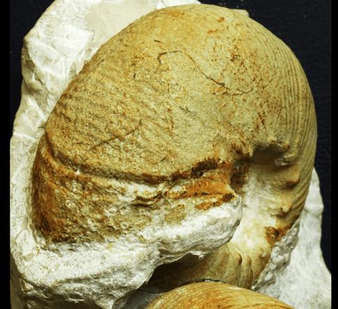 Peristoma de la macroconcha de Olcostephanus drumensis