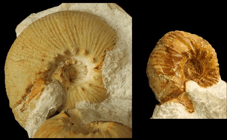 Dimorfismo sexual en Olcostephanus drumensis