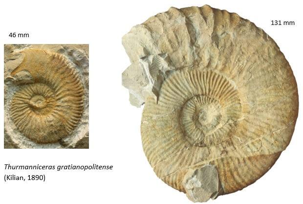 "Dimorfismo sexual en ammonites. ""Thurmanniceras gratianopolitense"""