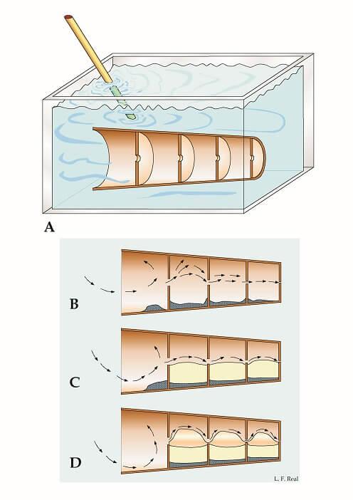 Formación de un molde interno de ammonite
