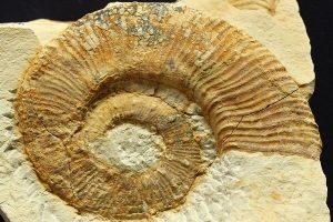 Vista general de una microconcha de Crioceratites heterocostatus