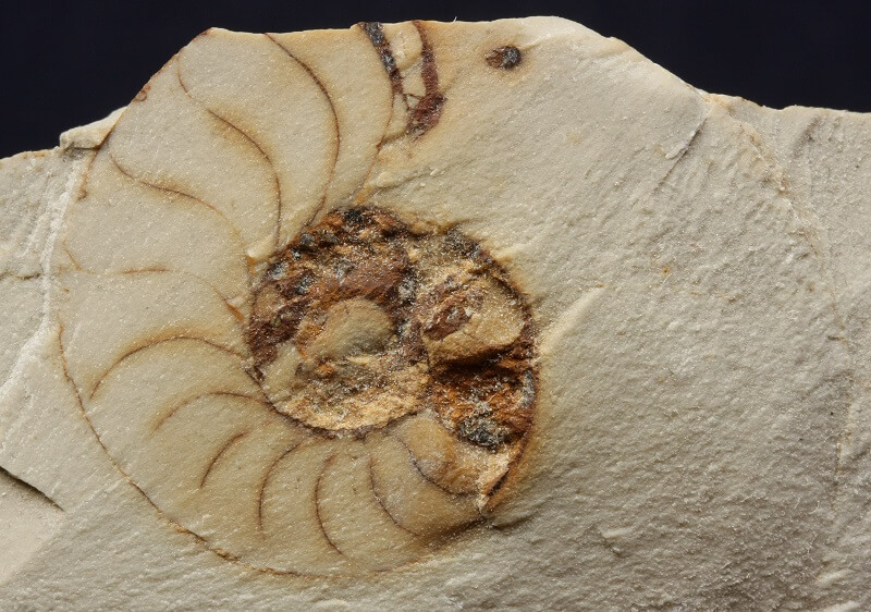 Molde interno de un ammonite