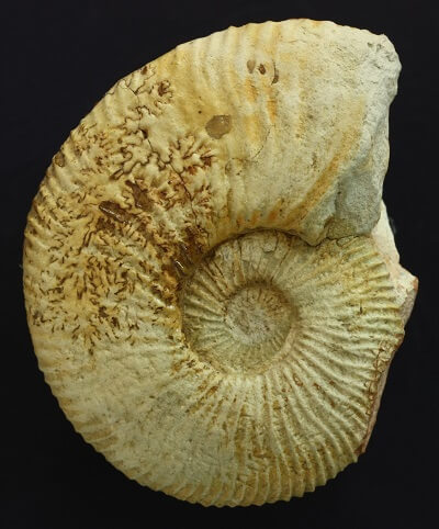 Molde interno de un Neocomites premolicus