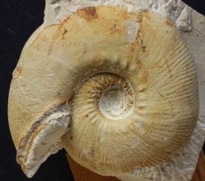 Macroconcha muy grande de O. drumensis