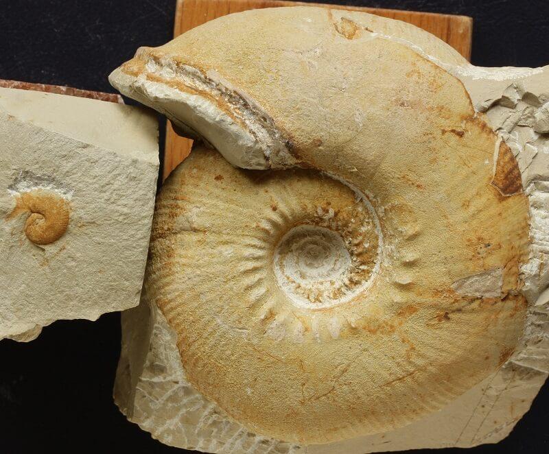Pareja dimorfa de Olcostephanus drumensis