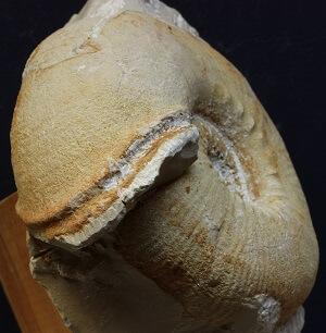 Peristoma poco marcado de O. drumensis