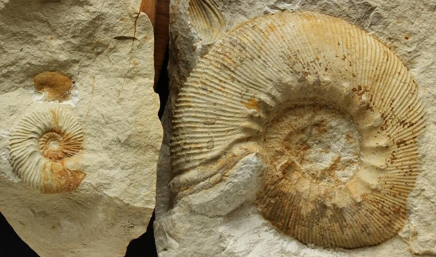 Macro y microconcha de Olcostephanus densicostatus