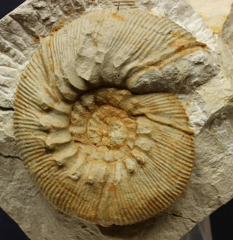 Macroconcha de Olcostephanus densicostatus típica del Valanginiense