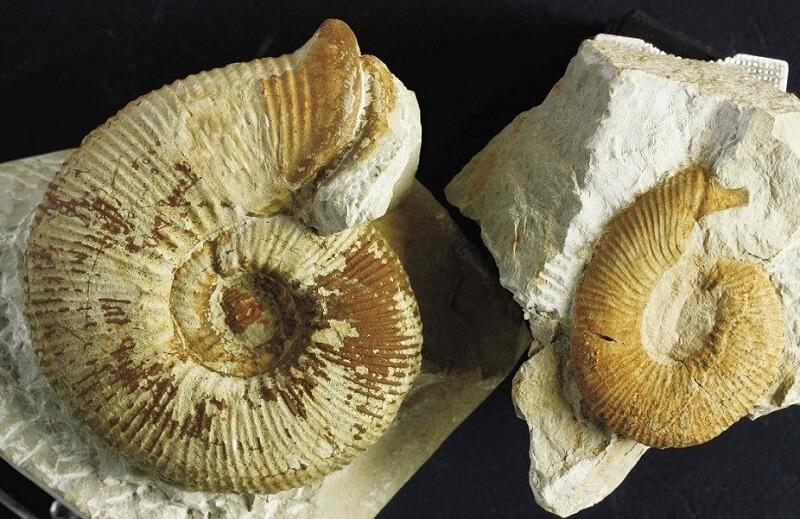 Ammonites del Cretácico inferior: lo que nos muestran sus conchas. Dimorfismo sexual en Olcostephanus jeannoti