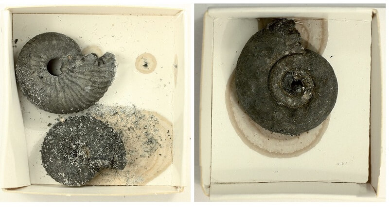 Ammonites de pirita: cómo se formaron y cómo conservarlos. Ammonites piritizados alterados