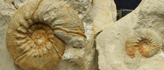 Micro y macroconcha de Olcostephanus densicostatus