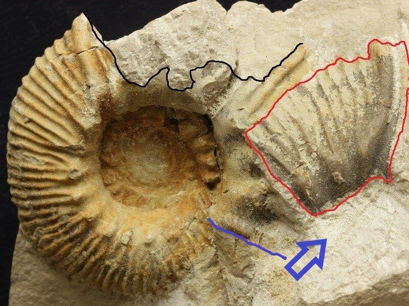 Observando un Olcostephanus nicklesi: peristoma desplazado