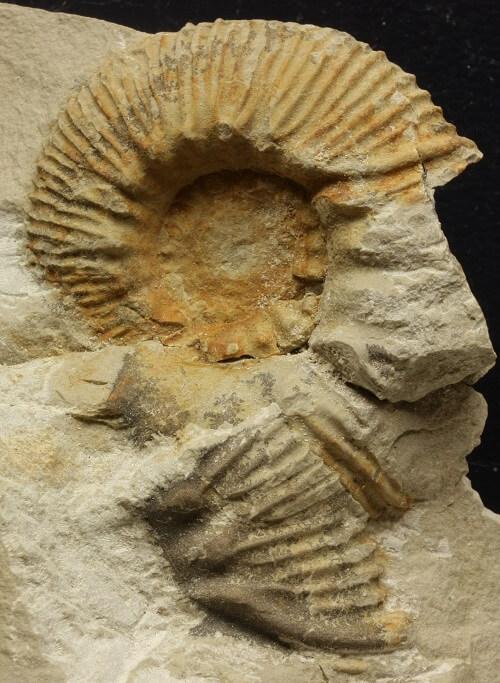 Observando un Olcostephanus nicklesi: concha parcialmente desarticulada
