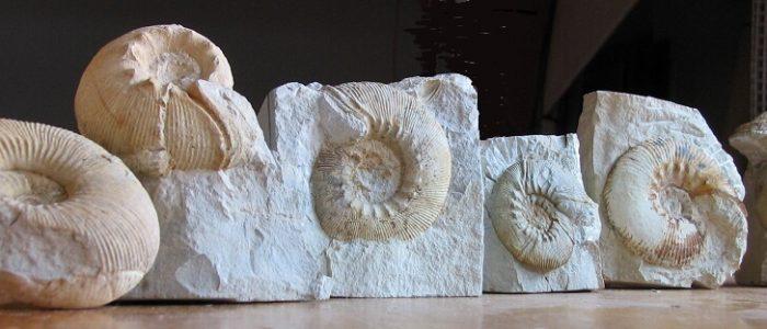 Algunas macroconchas del género Olcostephanus