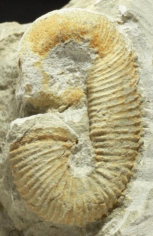 Eoscaphites circularis adulto