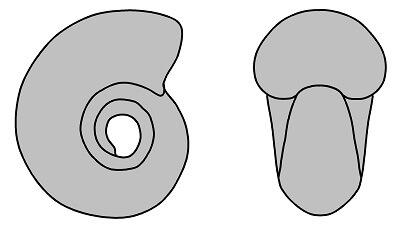 Sección de Eoscaphites subcircularis