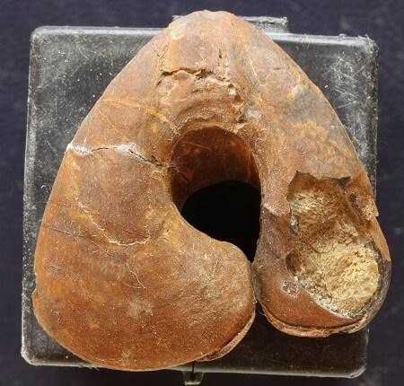 Fósiles de limonita: un Pygope sp.