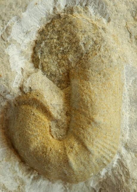 Probable microconcha de Scaphites hugardianus