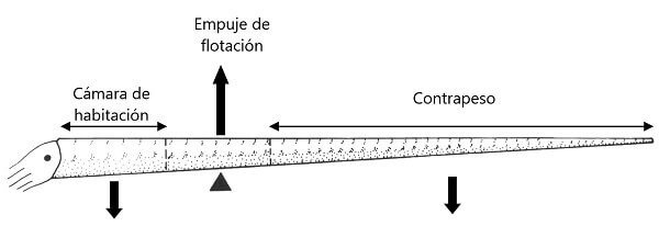 Distribución de fuerzas en una concha de un ammonite ortocónico
